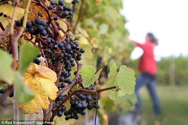 Sussex-based Nyetimber, which makes wines, has decided its grapes aren't worth collecting