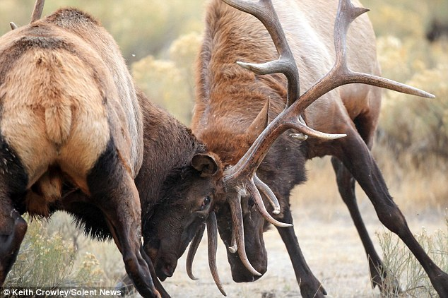 Locking horns: It's rutting season in Wyoming's world-famous Yellowstone national park and many stopped to watch the gathering of 60 elks