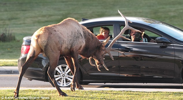 Ram raid: The beast takes out his frustration on a car-load of onlookers, one of whom was taking pictures of the incident