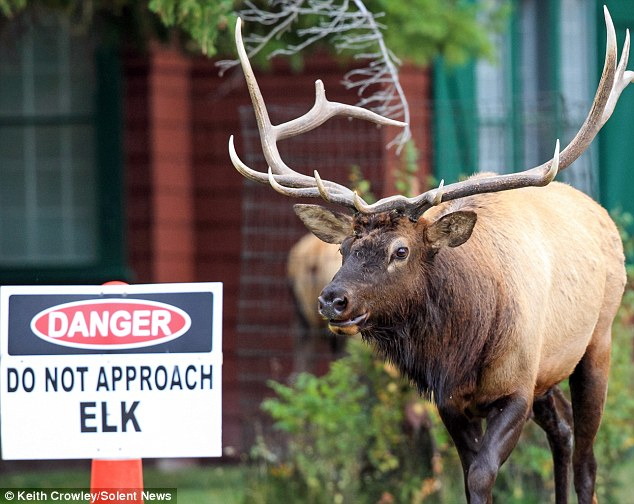 Warning signs: Despite cautions about motorists slowing down to look at the elk, many stop to watch