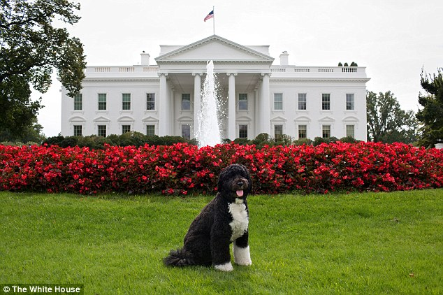 Woof: Bo, the Obama family dog, poses for a photo on the North Lawn of the White House on September 28