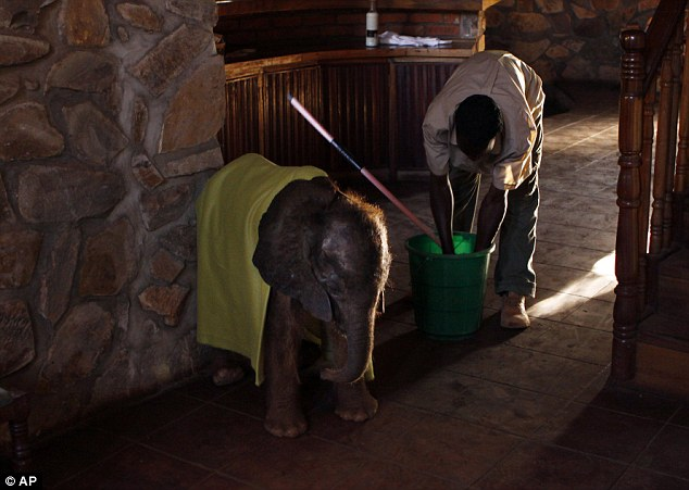 Helping trunk: The calf is pictured with carer Jim Tembo as he mops the floor at the sanctuary in Malawi