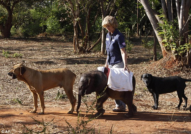 Going for a walk: The calf was being brought up by Jenny Webb, founder of the Jumbo Foundation (pictured here together with Ms Webb's pet dogs Barney, left, Bagheera right)