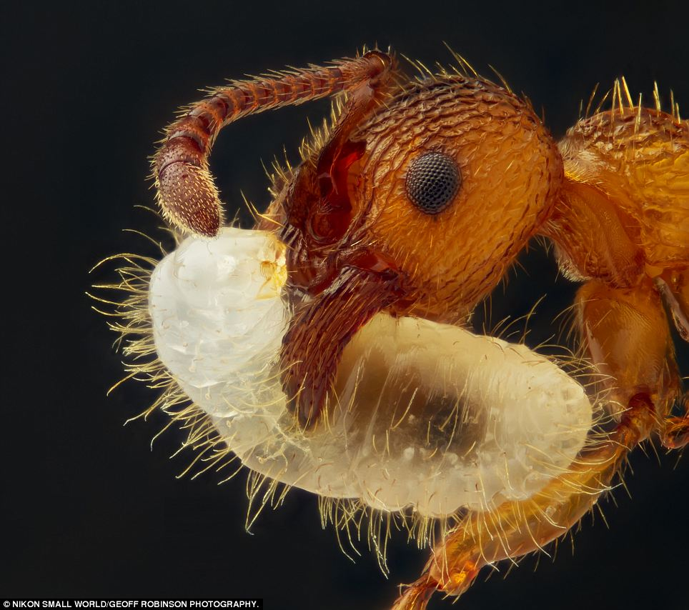Baby love: This picture by Geir Drange shows an ant carrying its larva