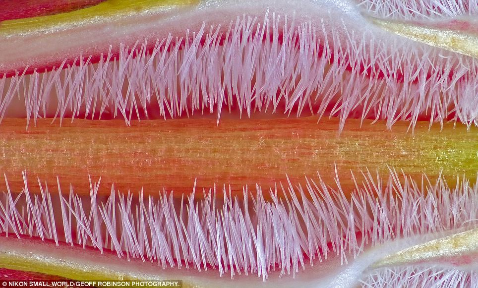 Furry: This image entered by José R. Almodovar Rivera shows a pistil of the flower of Adenium obesum