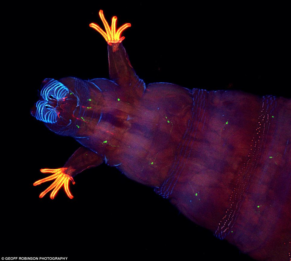 Weeeeee! This fruit fly larvae, pictured by Dr Andrew Woolley, looks like he's jumping for joy