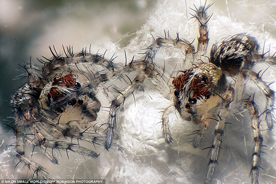 Playtime: Newborn lynx spiders scurry in this picture submitted by Walter Piorkowski
