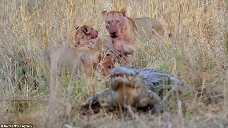 'And don't come back!': The mood of the meal is ruined, with the lioness staring at the interloper who ruined their meal