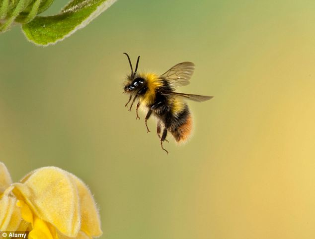 Discerning: A honey bee in flight. New research shows they are able to differentiate between artworks of different schools