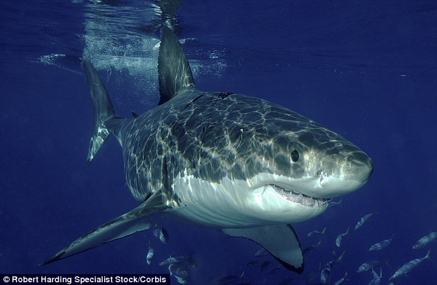 Culprit: Officials suspect a Great White shark may be responsible the deadly attack