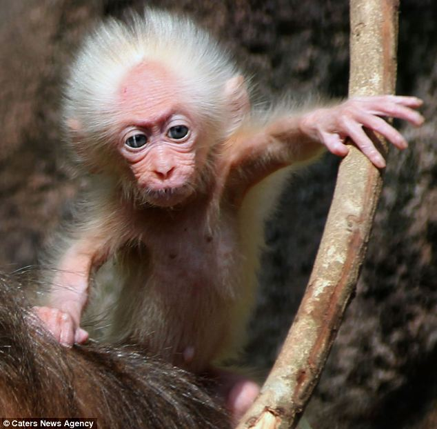 It's all relative: The Stump-tailed Macaque's big eyes, wrinkled brow and tufts of white hair make him look just like the famous professor