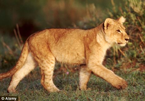 Katie noticed her lump after she suffered a bite from a young lion at a safari park (file photo)