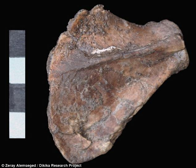 Rare find: It took 11 years to painstakingly extract the paper-thin shoulder blades from the rest of Selam's skeleton, which was found encased in sandstone in 2000 by Zeresenay Alemseged