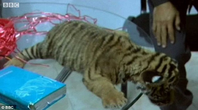 Care: The tiger cubs are now being looked after by wildlife and national park officers in Thailand