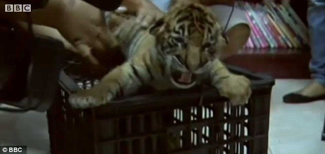 Saved: One of the cubs is lifted from its cage after police in Thailand caught a driver who tried to dodge a checkpoint