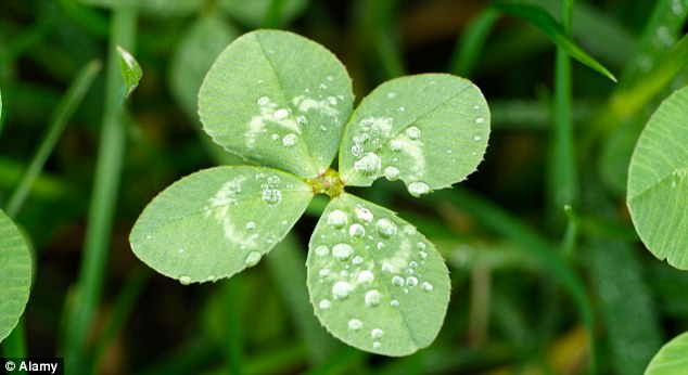 Out of luck: thanks to new research, lucky charms like this four leaf clover are no longer needed