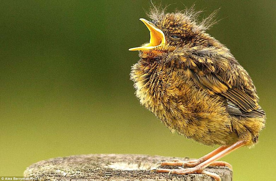 Chirp: Alex Berryman, 15, won RHS Young Photographer of the Year for his baby robin attempting its first flight