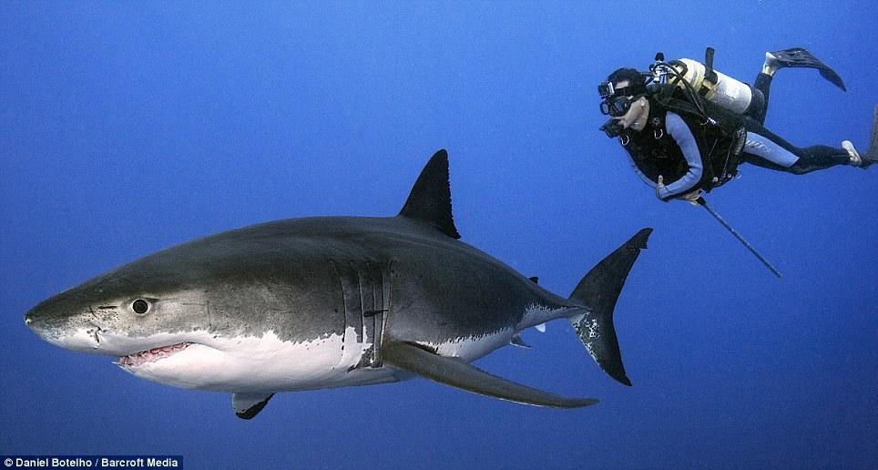 Unbelievable: Botelho has no fear of the deadly sea predator