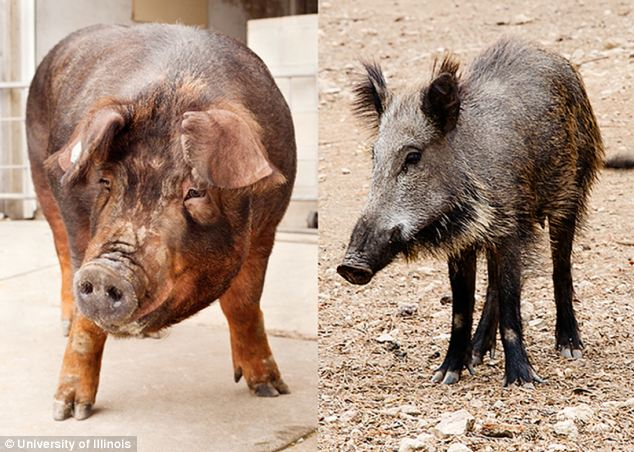 A Duroc pig (left) and their ancestor-like cousin, a wild boar (right) as a new genetic study reveals much about their evolutionary history, sensory perceptions and similarity to humans.