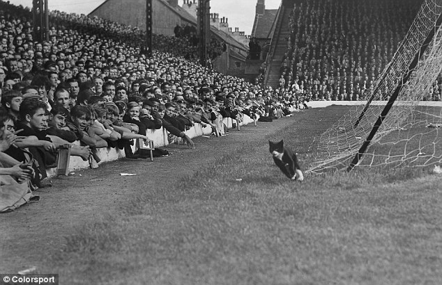The Original Anfield Cat: The Match of the Day cameras picked up this moggy, who ran the whole length of the Anfield pitch at the first broadcast game between Liverpool and Arsenal in 1964