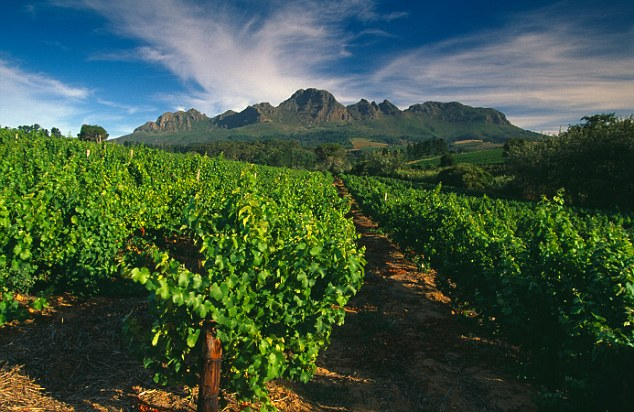 Green shoots: Growers in the Cape region of South Africa have increased production