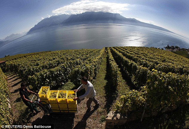 Not so rich pickings: Grape pickers move crates of Chasselas and Pinot Noir above Lake Leman in Switzerland