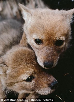 Victims: The dead pups were either coyotes (like the ones pictured here) or some breed of dog but it is difficult to tell post-mortum