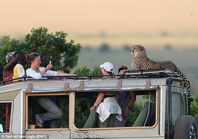 Amateur photographer Dr Serhat Demiroglu captured the amazing moment, as the cheetah struck posed only inches from the amazed tourists