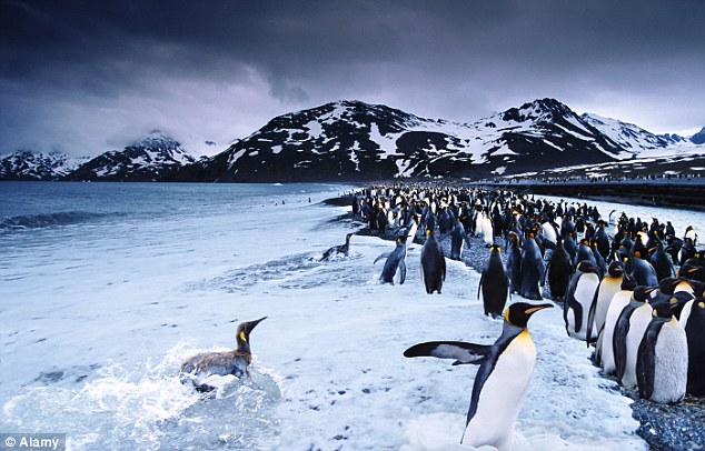 Under attack: The brown rat cull is designed to protect South Georgia's bird population, which includes large numbers of penguin