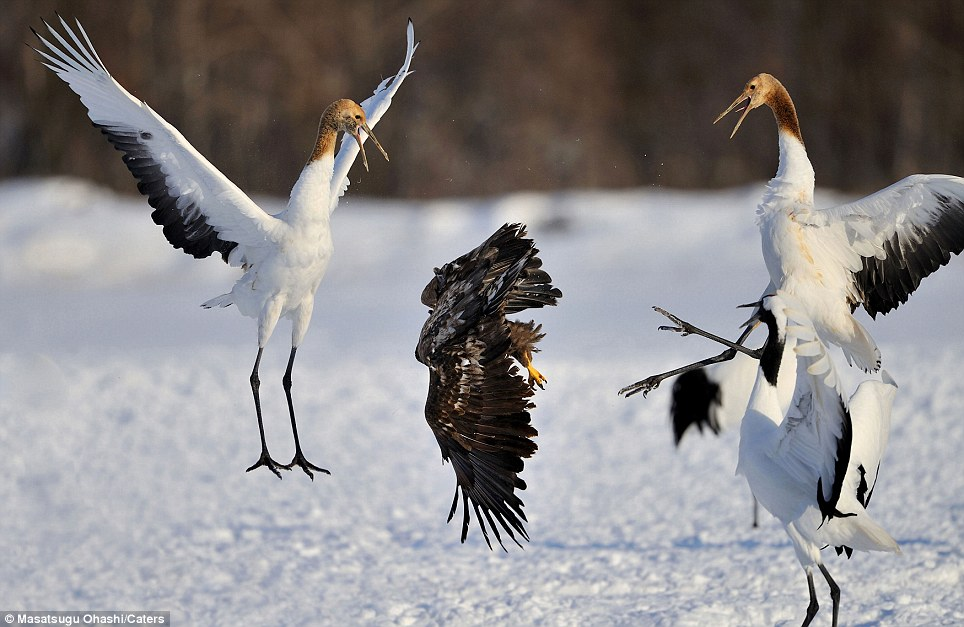 Feathered friends... and enemies: Outnumbered three to one, the eagle is soon forced to flee the scene