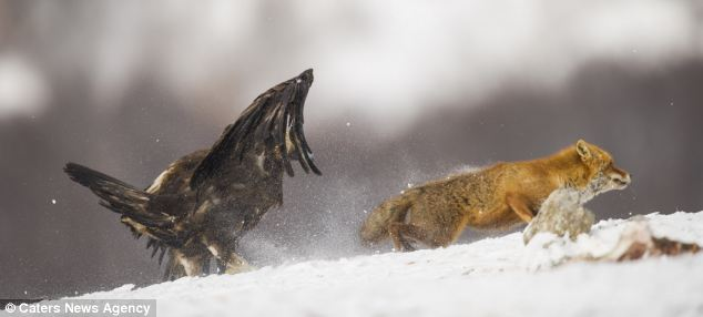 Outfoxed: The fox gets to its feet and makes a hasty retreat