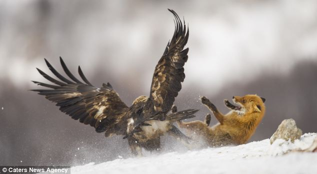 Fight: The plucky fox is knocked to the ground as the tussle between the two animals continues