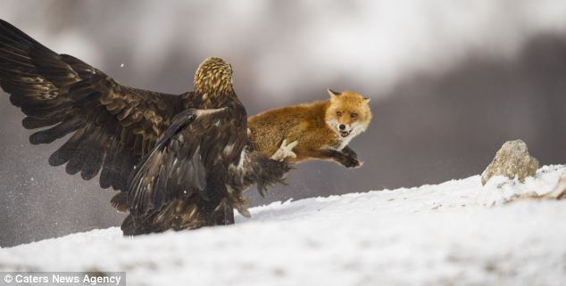 Attack: Yves Adams stunning photo captured the moment a Golden Eagle dug its claws in to the not so wily fox that tried to steal his lunch