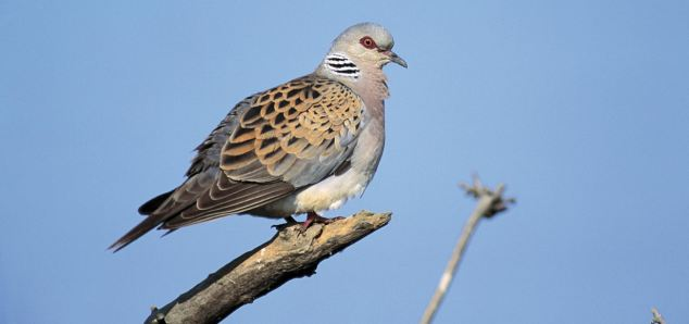 Turtle doves are in danger of disappearing from the British countryside for ever, numbers have plummeted by nearly two thirds in the last five years