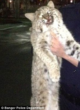 Beast: As the woman drove in Bangor, Maine, the animal in her back seat, pictured, woke up and revealed its true colors - it was actually a bobcat