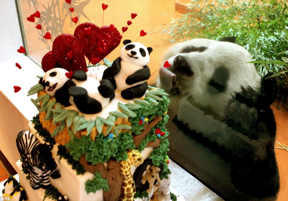 Hungry: Edinburgh welcomed pandas for the first time. Here Yang Guang can be seen trying to get a taste of a Valentines day cake