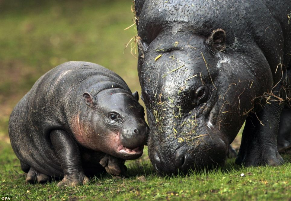 Mini mi: Eve a new baby Pygmy Hippo takes a first look at its outside pen with her mother at Edinburgh Zoo