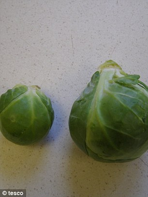 Sprout addict's dream: The supersized version of the Christmas vegetable dwarfs its regular-sized counterpart