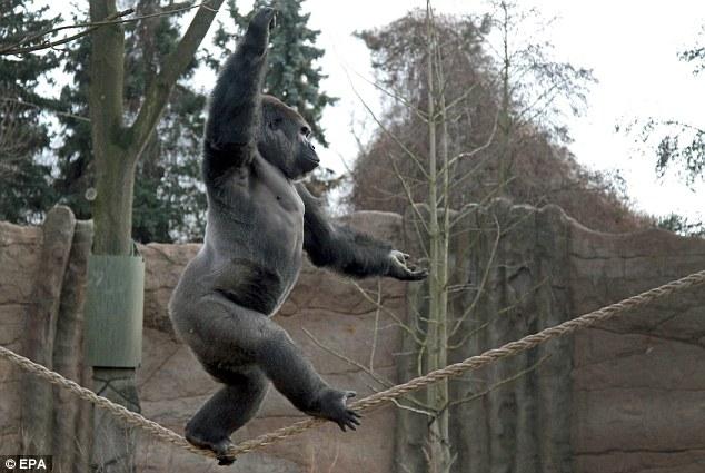 Skywalker: Kidogo, the 12-year-old silverback gorilla shows off his tightrope walking skills at Germany's Krefeld Zoo
