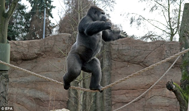 Showing off: Kidogo's keepers at Krefeld Zoo in Germany were concerned after the 12-year-old ape appeared homesick after moving from from Denmark's Givskud Zoo