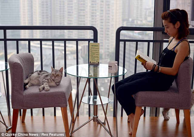Puuurfect: A customer relaxes in a Cat cafe in Chongqing, China, but Londoners may soon be able to do the same if Lady Dinah's Cat Emporium opens