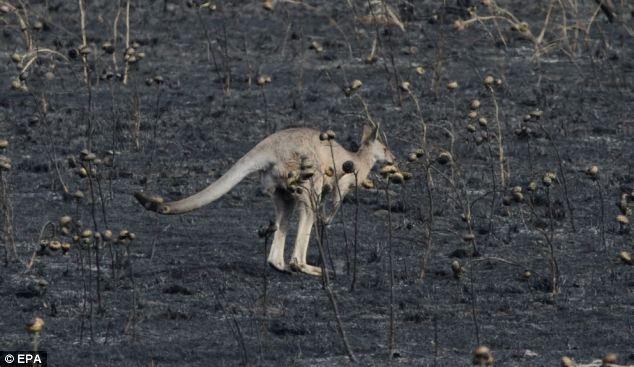 A kangaroo hops through a burnt out paddock