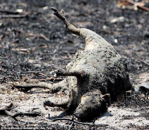 A dead wallaby