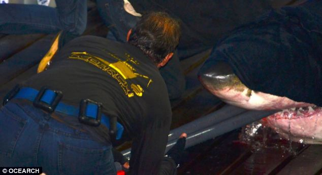 Mary Lee was fitted with electronic tag last September to enable Ocearch to track her