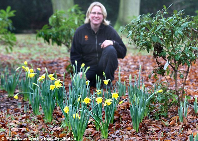 Warm: The mild weather brought the daffodils out at Dunham Massey Gardens in Manchester