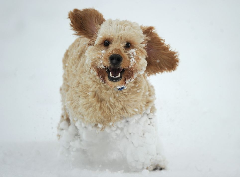 This dog seems to be turning into a snowball as it runs around in Norfolk