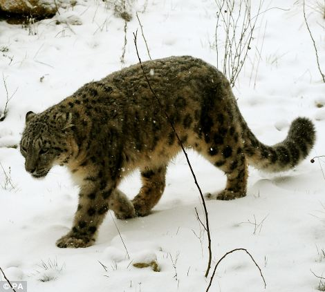 On the prowl: A snow leopard lives up to its name at Twycross Zoo, Leicestershire