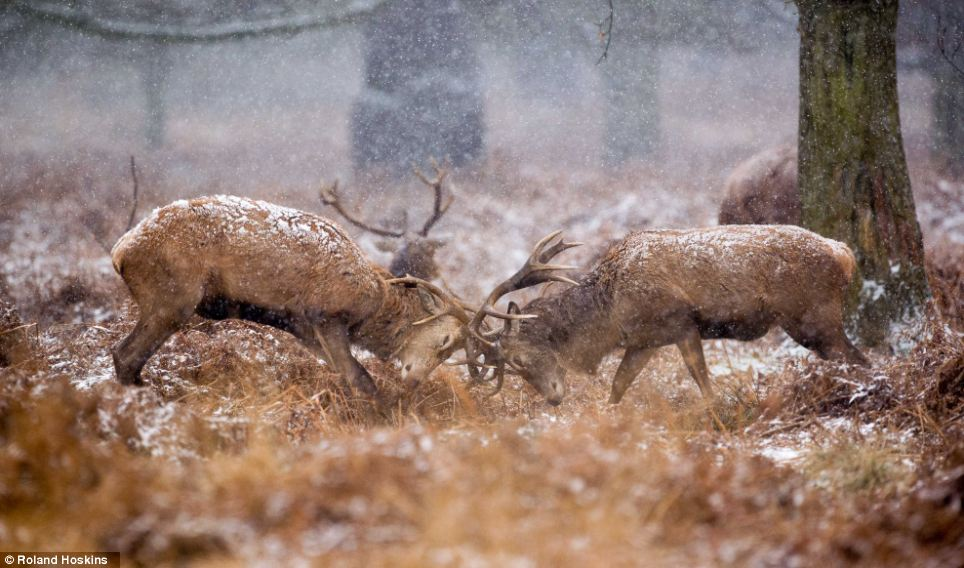 Red alert: Red deers perform a mock rut as the snow sweeps across Richmond Park in south west London