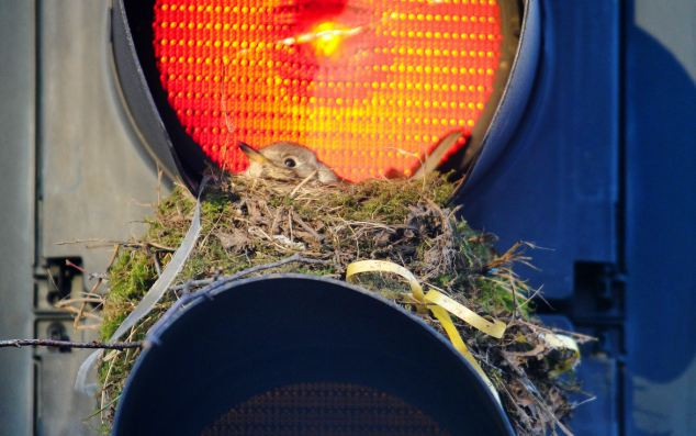 Photographer Jason Senior captured the images of the bird, as it appeared to be blissfully unaware of the interest it had caused by choosing its unusual nesting place