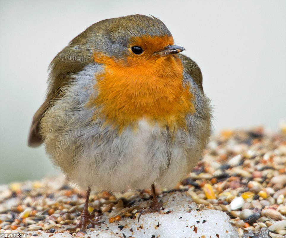 Opposite: Meanwhile this fat robin standing on a mound of bird seed braves the freezing weather at Southbourne near Bournemouth